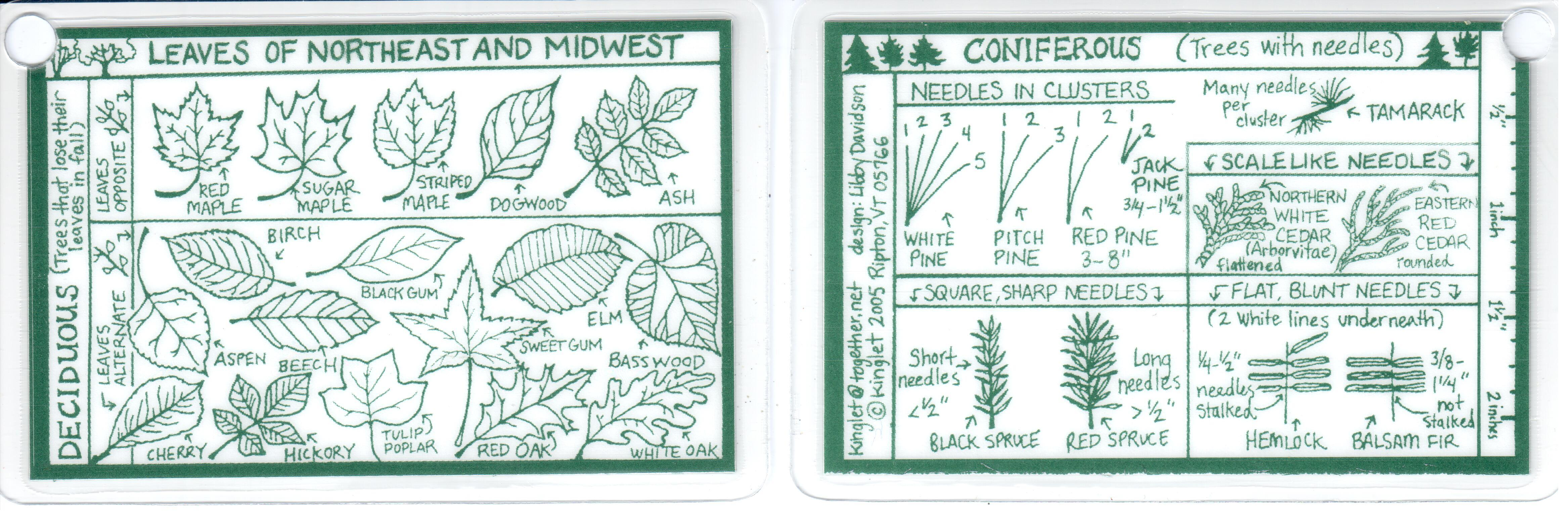 Maine guide supply id card leaves of northeast trees id card leaves of northeast trees sciox Gallery